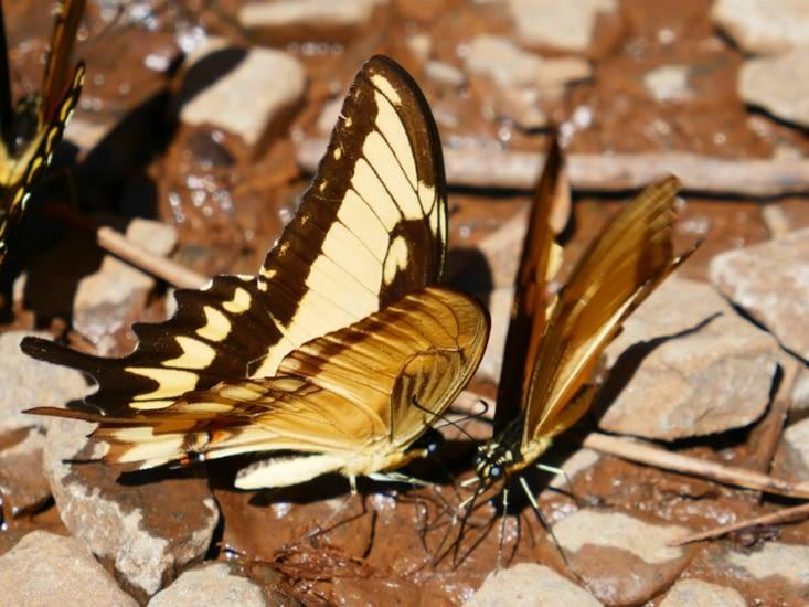 Plus d'un cinquantaine de papillons se regroupent au sol dans un étrange ballet
