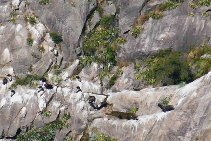 Ultra zoom pour à peine distinguer toutes une colonie de Condors
