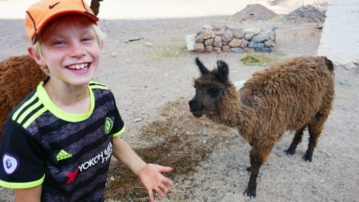 Le lama a carrément craché sur Maël tout ce qu'il avait dans la bouche