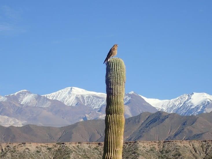 Afin d'avoir une position dominante, les rapaces se postent au sommet des cactus