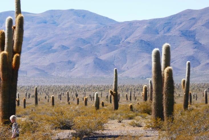 Un champ de cactus. Normal, nous sommes dans le parc des cactus !