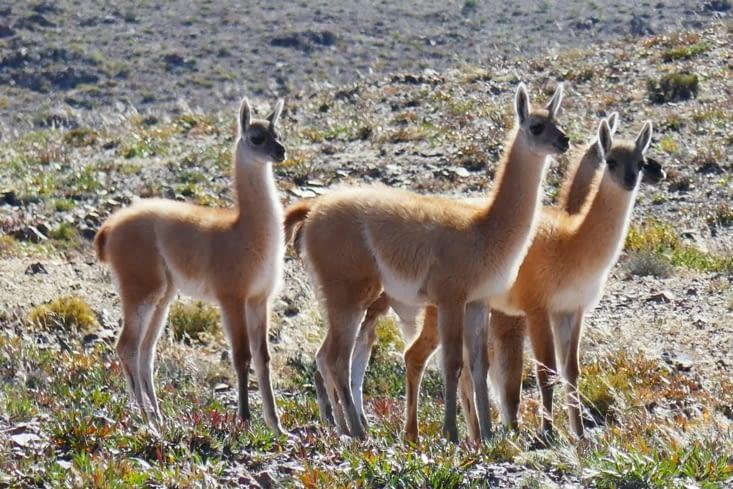 En fait, ce sont des vigognes (ou peut-être des ganacos? )