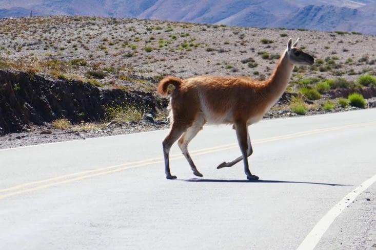 Un lama a réellement traversé derrière le panneau