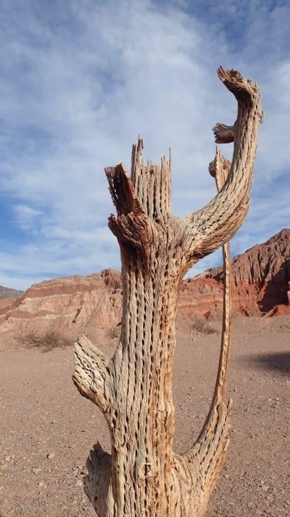 Sous la peau du cactus il y a du bois creux alvéolé