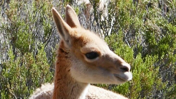 Même si la vigogne est de la famille des camélidés, on lui prète des yeux de biche...