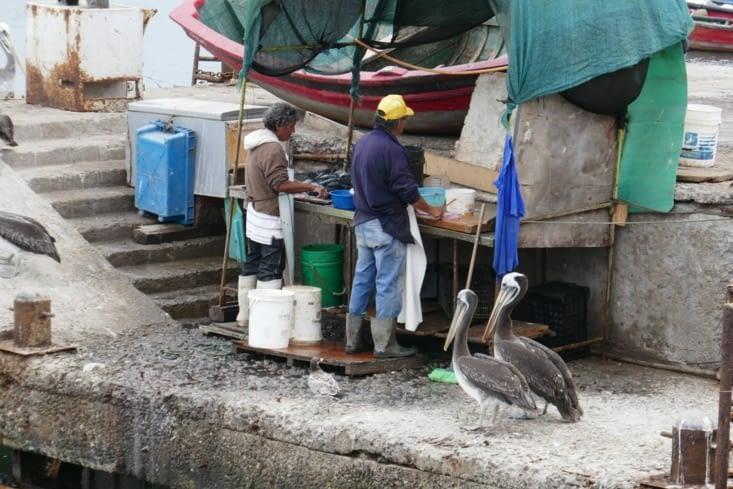 Des pélicans sont très intéressés par les activités des videurs de poissons sur les quais