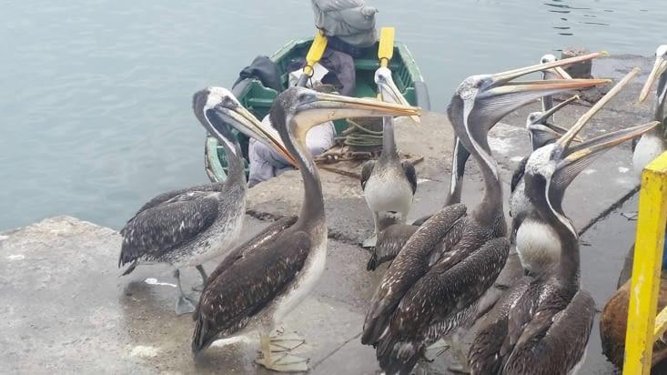 Ils avalent goulûment les déchets de poissons que les pêcheurs leur lancent