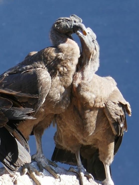 2 condors se bizouillent pendant de longues minutes (même avec la langue...beurk...!)