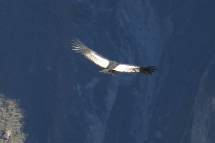 Un dizaine de condors volent au dessus de nous. Un show grandiose !