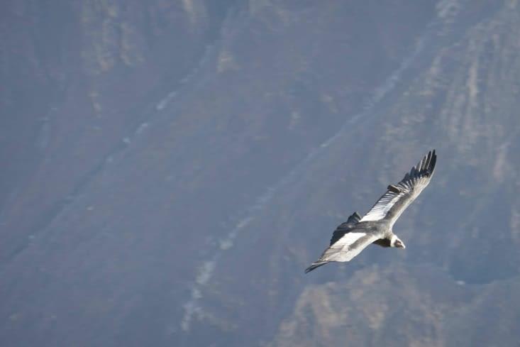 On reconnait le condor royal à son anneau de plumes blanches autour du cou.