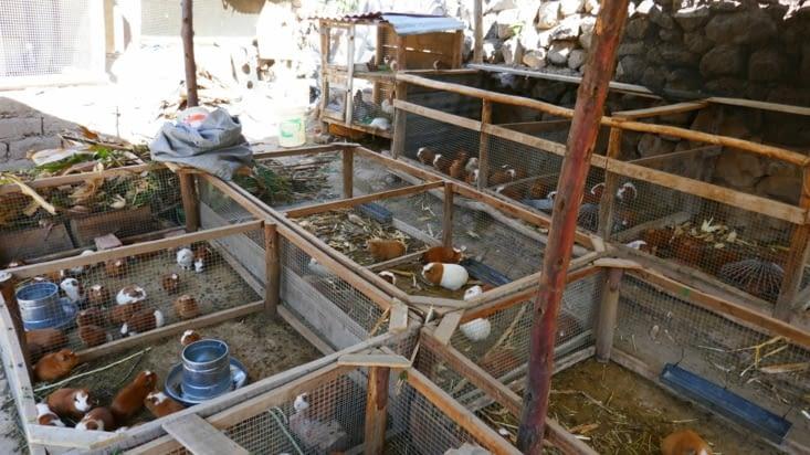 Un élevage de cochons d'inde dont les péruviens raffolent dans leur assiette. ..