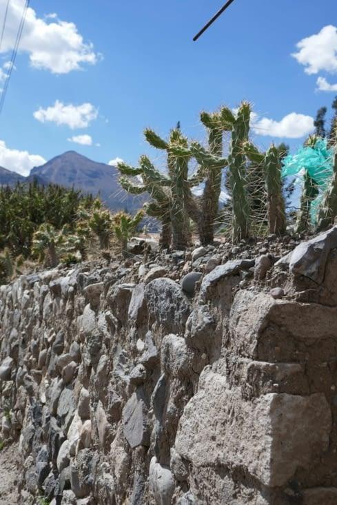 On remplace les tessons de bouteilles sur les murs des propriétés par des cactus