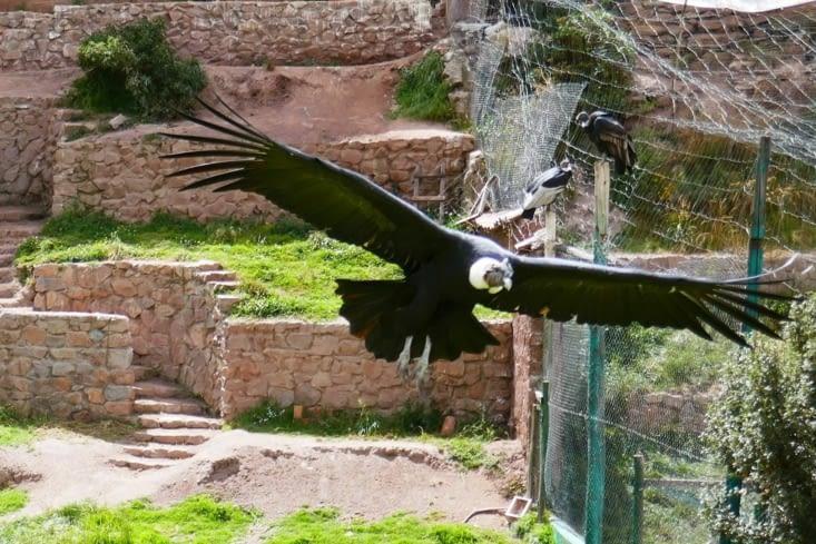Le célèbre vol planant du condor