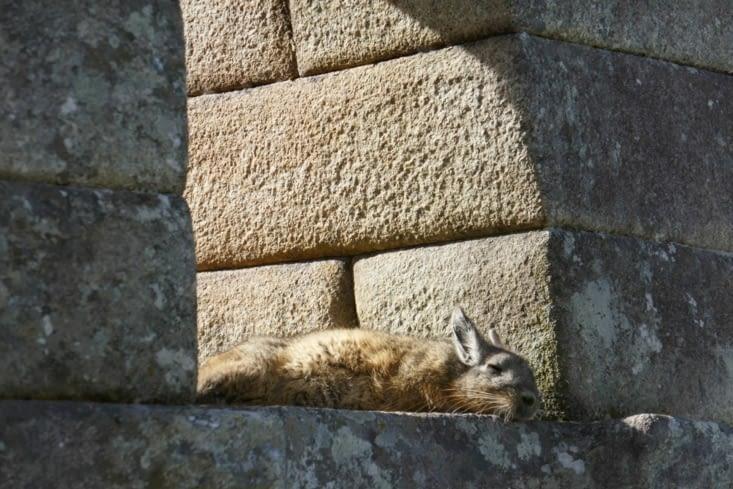 Voici une viscache ressemblant à un croisement improbable entre un lapin et un écureuil