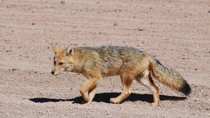 Nous croisons un renard en plein milieu du désert