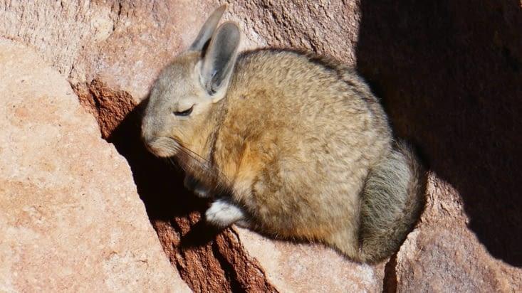 Une viscache (mi lapin-mi écureuil) se prélasse tout en haut des rochers
