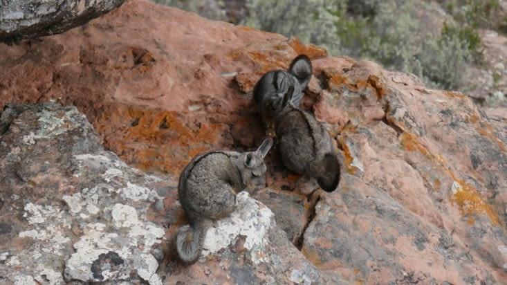 """Au détour d'un rocher, nous tombons sur un """"nid"""" de viscaches."""