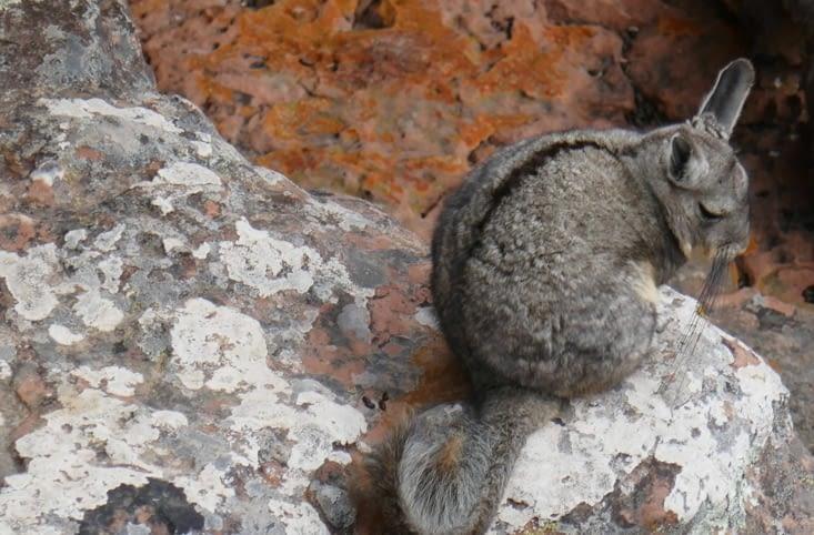 Animal surprenant entre lapin et écureuil avec des moustaches de 10 m de long ...