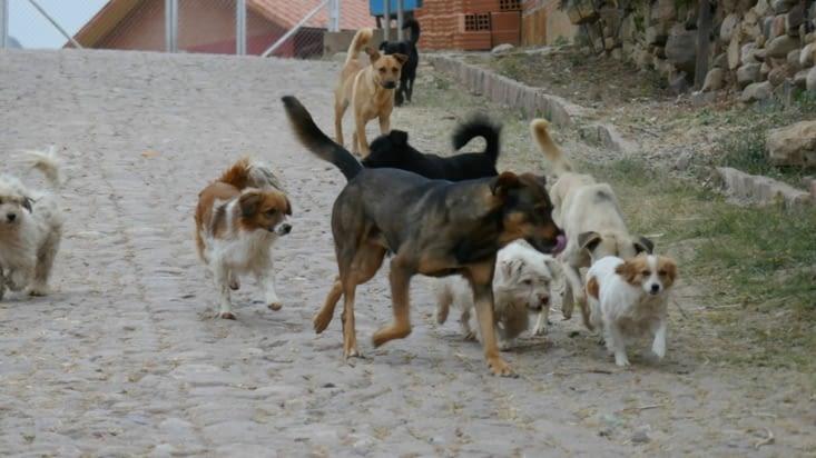 Des tas de chiens poursuivent une malheureuse petite chienne qui a raison de s'inquiéter