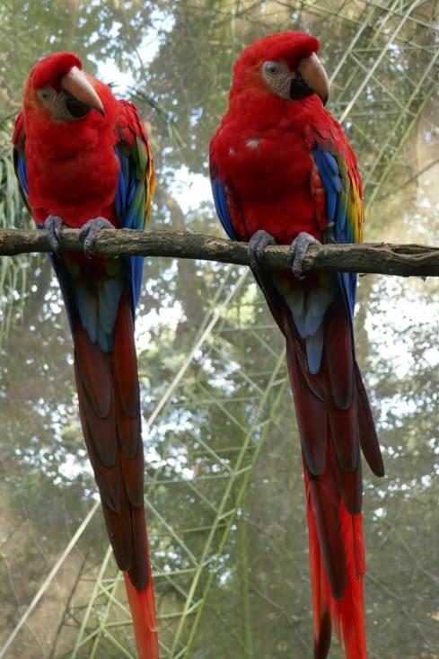 Les aras rouges, Dupont et Dupond, dans leur superbes costumes de plumes