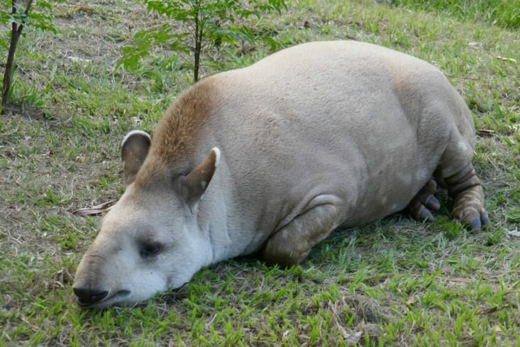 Sylvestre le tapir terrestre se prélasse