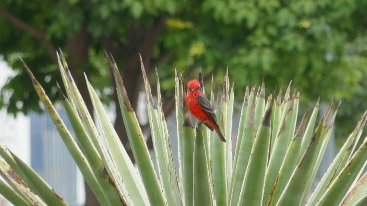L'oiseau rouge pose sur fond vert : nickel !