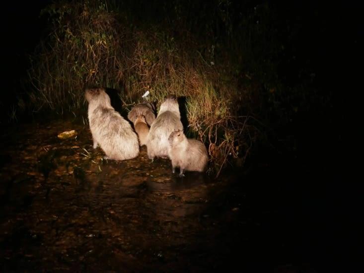 Nos gros copains rongeurs: les capybaras