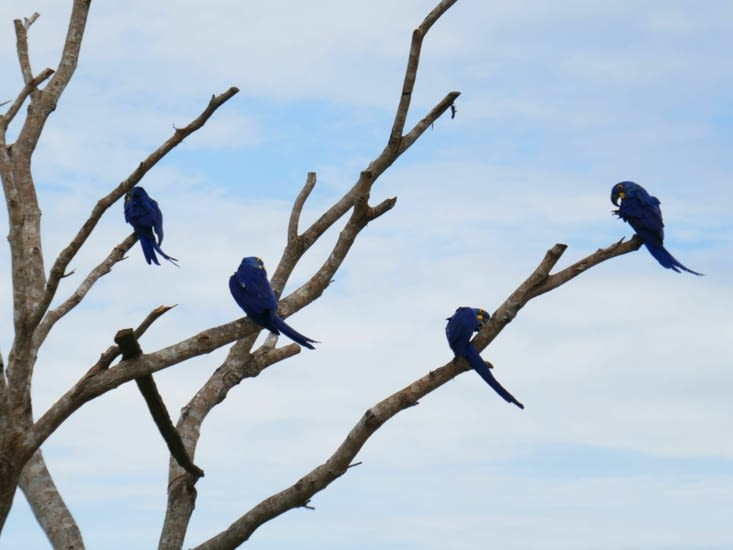 De beaux aras bleus ont leur quartier à l'entrée de la pousada du centre équestre