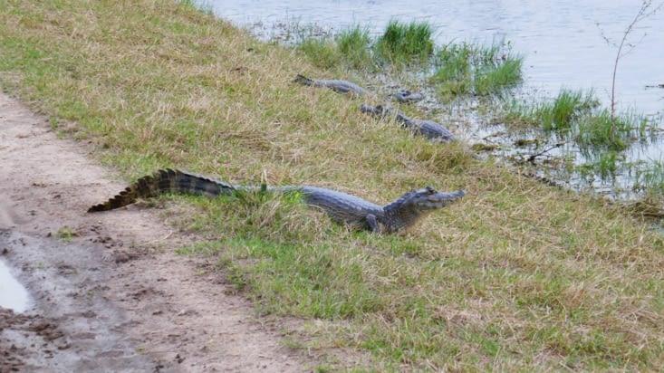 le caiman n'est pas un animal qui respecte le passage clouté pour traverser la piste !