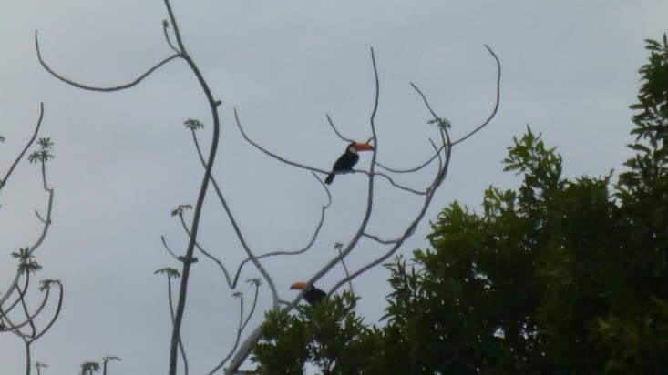 Des toucans nous chantent leur chanson