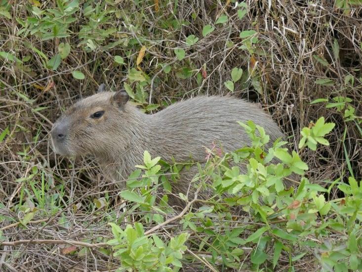 Des capybaras nous laissent approcher tout en restant très méfiants