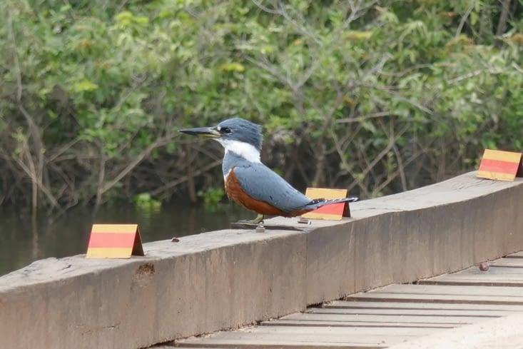 Un Martin pêcheur cherche des proies potentielles depuis le pont