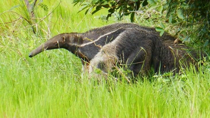 Voici un foumilier géant qui fait près de 2m de long avec la queue