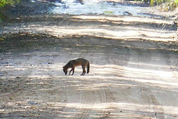 Un jeune renard se promène sur la piste