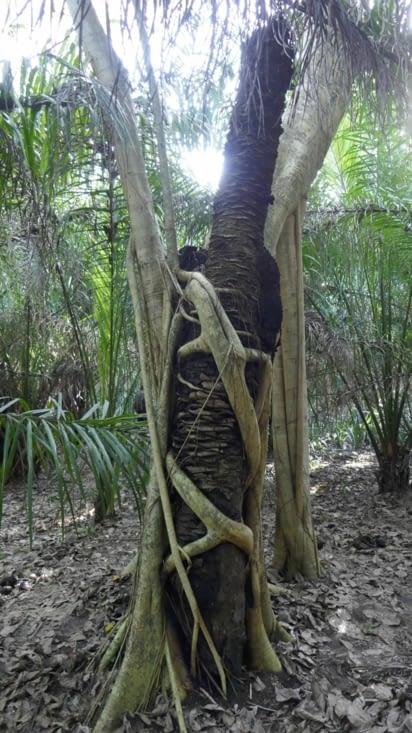 Les premières racines descendent vers le sol