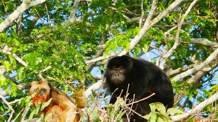Le singe hurleur mâle  (de couleur noire) n'a pas le sourire ce matin !
