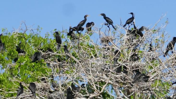 Des milliers d'oiseaux se regroupent dans un concert assourdissant