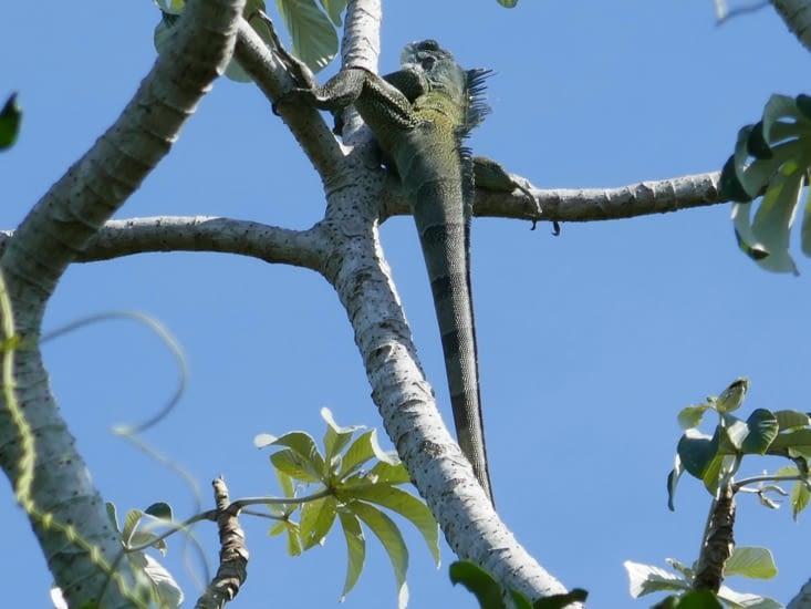 Un iguane sur son arbre