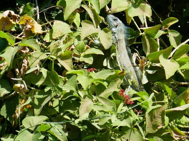 Un autre iguane caché dans la verdure