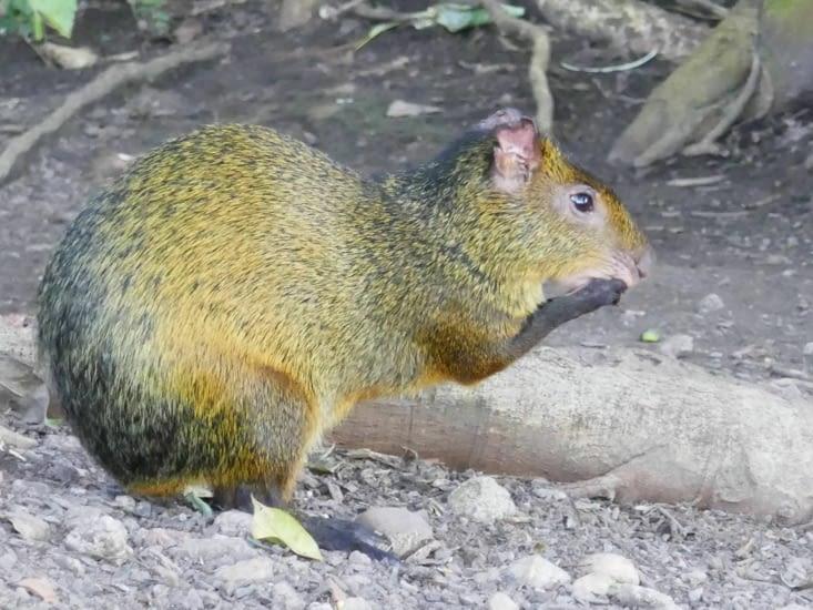 Mi-rongeur, mi-écureuil. ..