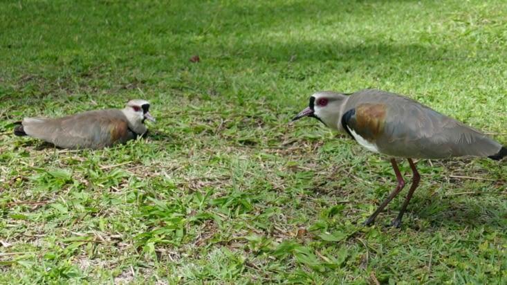 les oiseaux crieurs