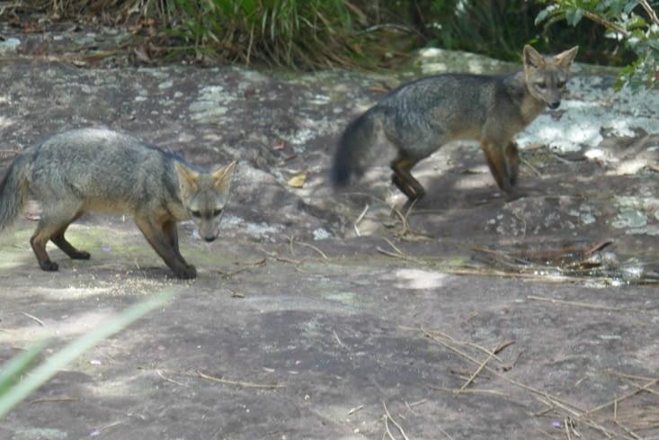 Un couple de renards vit près de la rivière le long de laquelle nous avons pique-niqué