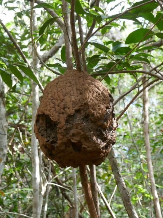 De nombreuses thermitières se forment dans les arbres et au dessus des piquets de cloture