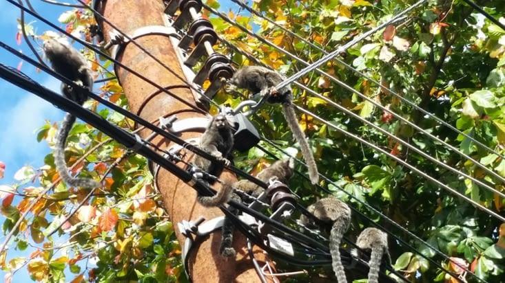 Des lémuriens ( ou une espèce y ressemblant) font le show sur les fils électriques