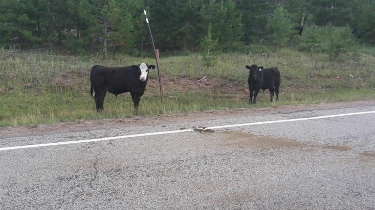 Vaches en liberté dans la montagne