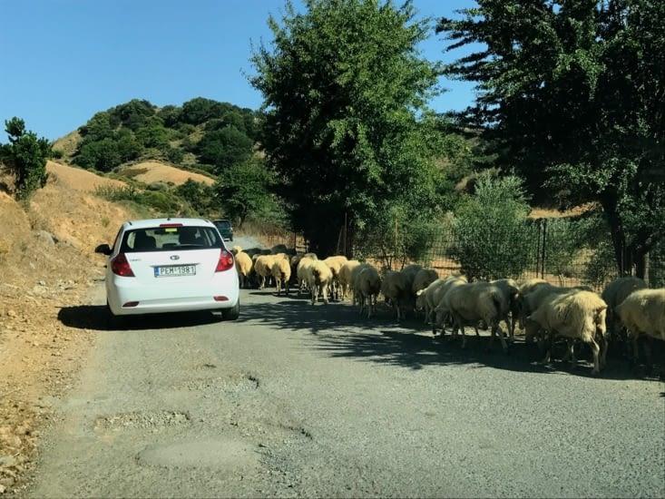 Les moutons sont chez eux (et le berger les ramène en voiture !!)