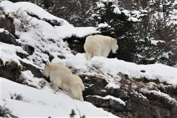 Deux petites Mountain Goats.