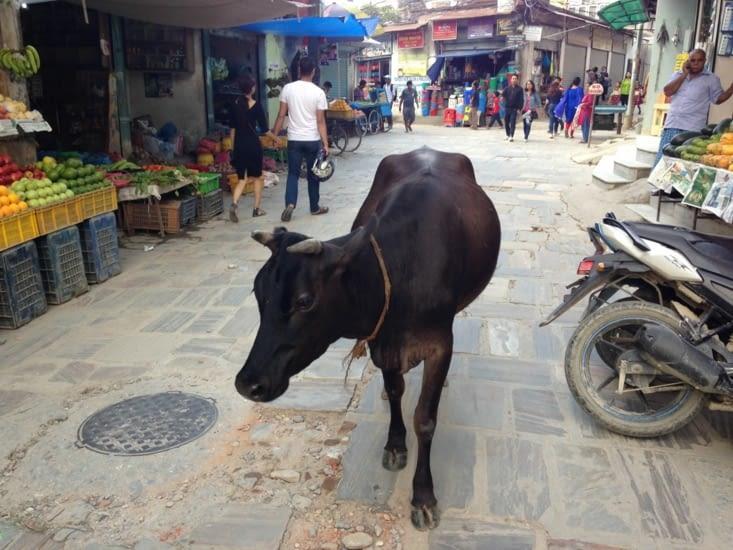 Les vaches sacrées, reines de la rue