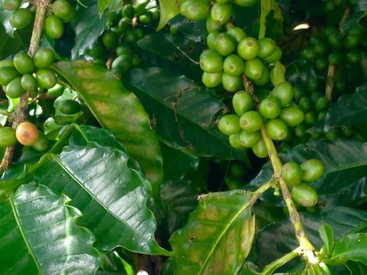 Aperçu du caféier du jardin (les grains deviendront rouges à maturité)