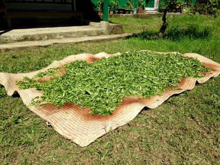 Les feuilles de thé une fois cueillies